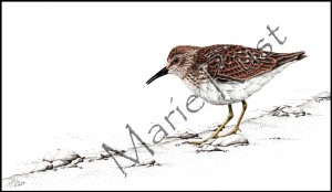 least-sandpiper-big