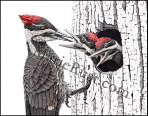 pileated-family