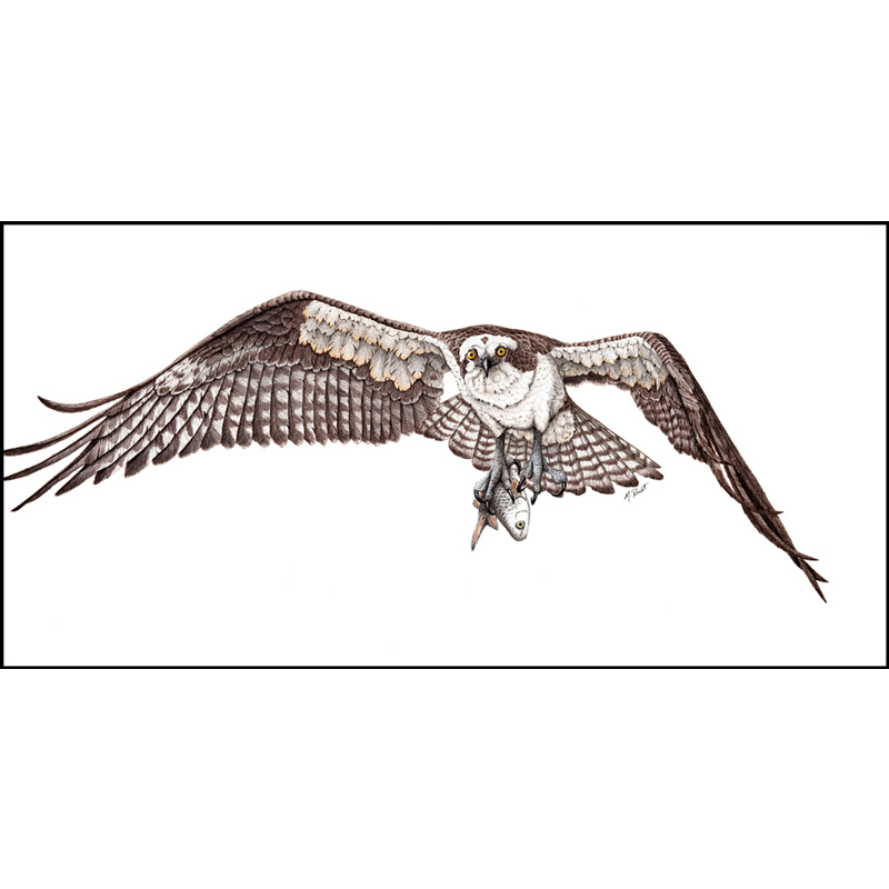 Fish hawk osprey marie rust for Fish hawk bird