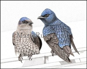 Purple-Martins