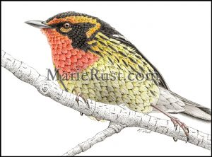 blackburnian-warbler