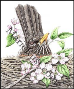American-Robin-nesting