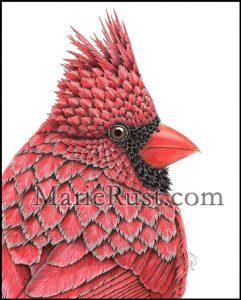 male-cardinal001